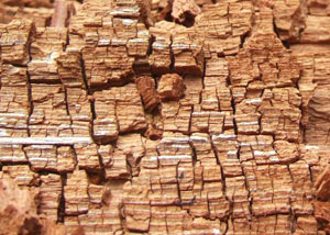 Wood severely damaged by dry rot damage in Sweet Grass