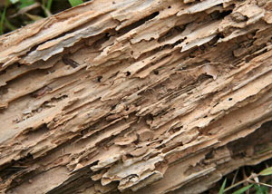 Termite-damaged wood showing rotting galleries outside of a Inverness home